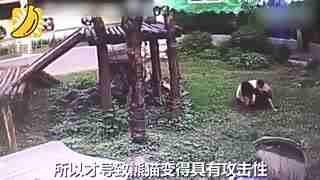 游客私自翻越栅栏吵醒熊猫 国宝生气一把扑倒