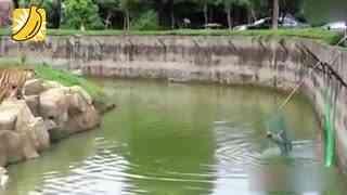 夫妻执意带宠物犬进虎园 落水后上演虎口夺犬