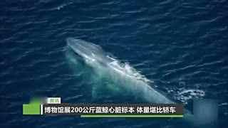 博物馆展200公斤蓝鲸心脏标本 体量堪比轿车