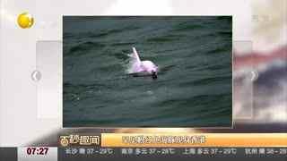 罕见粉红色海豚近日现身香港海域