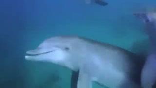 海豚举止怪异,不断把河豚吞进嘴里又吐出来