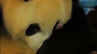 """你绝对没见过大熊猫生宝宝,""""嗖""""的一下就出来了"""