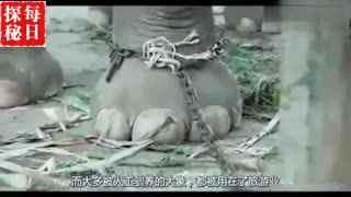 骑大象背后残忍真相,视频遭泰国全网禁播