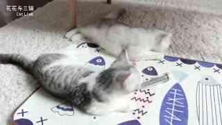 花花与三猫:猫咪集体吸了猫薄荷,飞大了之后打群架,女主人都吓傻了!