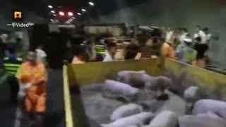 货车爆胎侧翻,200小猪隧道内撒欢
