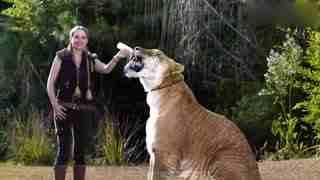 世界上最大的狮子,身体全长三米左右,堪称世界第一!