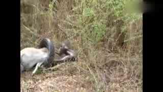 蟒蛇缠绕一只羚羊正准备开吃-不料突然意外发生了