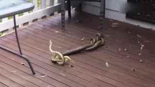 实拍两公蛇为争伴侣_花园内大打出手