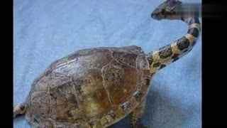 女子野外发现一条背着龟壳的蛇,这是什么鬼!