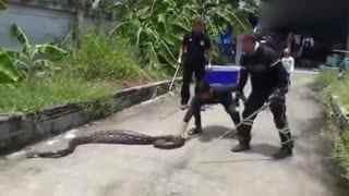 慎入!5.1米长蟒蛇潜入屋内 吞下屋主爱猫