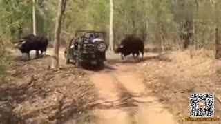 世界上体型最大的牛 连老虎都不是其对手