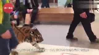 男子遛老虎,老虎丝毫不在意旁边的众人,悠哉的走着!