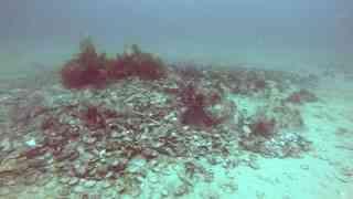 科学家发现水下章鱼洞穴 过群居生活