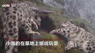聚众卖萌 四只雪豹同时闯入监控镜头