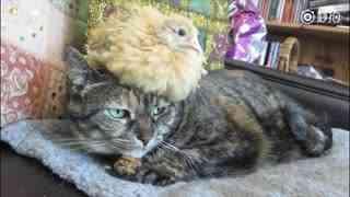 小猫和小鸡,一定要看到最后!