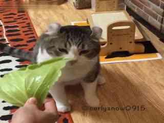 【猫】看看大脸卷耳猫snow还吃过啥(你以为它只吃瓜吗