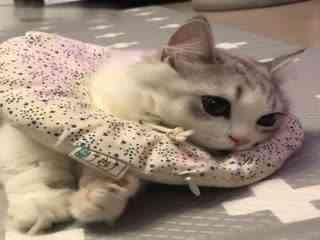 【猫】折耳姐姐vs.刚迎来猫生的第一道坎的小短腿芒奇金弟弟
