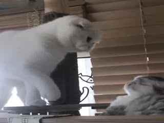 【猫】小短腿猫弟弟和白折耳姐姐的最新相爱相杀日常