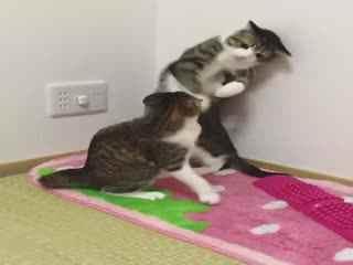 【猫】眉清目秀suzume和淘气包unagi日常