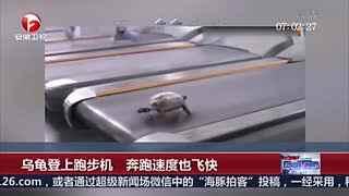 实拍乌龟登上跑步机 飞速奔跑让人看傻眼