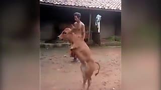 汗颜!坚强使一头牛没有前腿却直立行走
