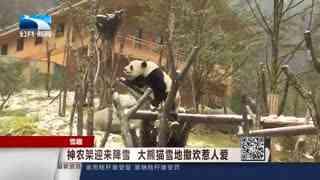 神农架迎来降雪  大熊猫雪地撒欢惹人爱