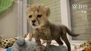这只只有4磅的小猎豹~因为吃东西抢不过它的五个兄弟姐妹......唔....就被送进来吃独食了