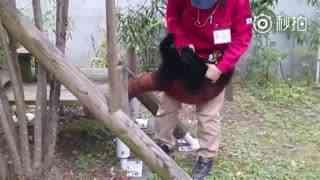 【小熊猫】受不了了~这只小熊猫怎么这么缠饲养员啊