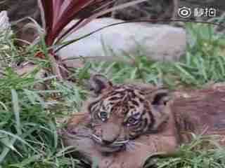 一只孟加拉虎宝宝一只苏门答腊虎宝宝~有个伴儿真好
