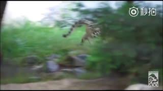 在洛杉矶动物园出生的龙凤胎雪豹幼崽~