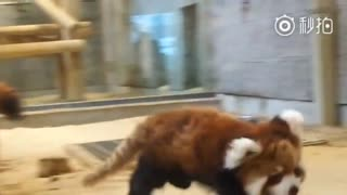 【小熊猫】西山动物园的小熊猫宝宝~超级活泼~因为小小的一只所以显得耳朵很大