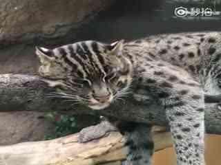 渔猫~视频中为神户动物王国里的渔猫正在休息~