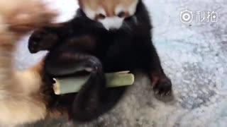 【小熊猫】优香那毛茸茸的大尾巴哟~~~
