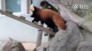 【小熊猫】感觉小辉和小耀的尾巴将来会和姐姐优香的一样漂亮~