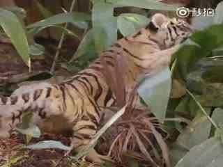 圣地亚哥动物园救助的那两只小老虎~这是他们头一次一块儿来到户外,便开始疯狂破坏绿植