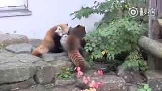 当时六岁的小熊猫妈妈带着两只小宝宝出来溜达~