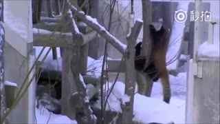 萌神小熊猫视频集锦~~让你一次~吸个够~~