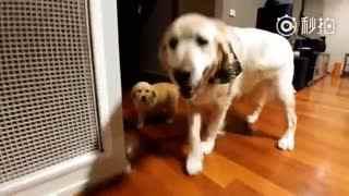 【狗狗】家里新来了一只小金毛,这可把大金毛给激动坏了。
