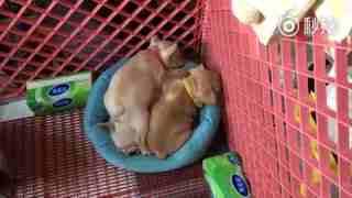 【狗狗】哥哥只是想一只狗独占床位,没想到弟弟妹妹们全都来了!挤一挤挤一挤,一家人最重要的就是整整齐齐!