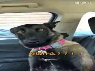 """【狗狗】今天,马犬Artie得到了一个""""好消息"""",它马上要当姐姐了!"""