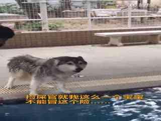 【二哈】捡屎官给精力过剩整天拆家的二哈Max报了游泳课,这下二哈终于怂了,吵架时声音都在颤抖……