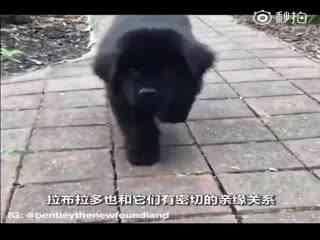 【狗狗】它们已经拯救了数以万计的人类,它们体型惊人却被称为保姆汪!它们是温柔巨汪纽芬兰犬!