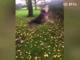 """【狗狗】苏格兰一位主人拍下了狗狗Honey和树枝较劲的过程,蹦跶了四五分钟,执着的狗子终于如愿咬住树枝,然后开始""""舞蹈""""!"""