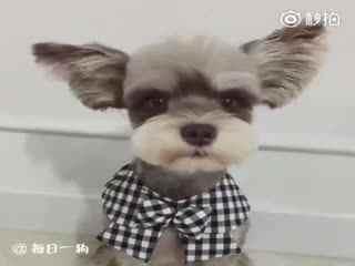 【狗狗】网友家的雪纳瑞上演了一场萌萌的小披风变装秀!你的小耳朵是遥控的吗?真是忍不住想捏捏呢!