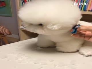 【狗狗】超大朵的棉花糖Tori又去剪毛毛了,犯困了还乖巧地坐着,太乖了
