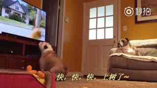 【狗狗】捡屎官不在家,给狗狗开了电视,想让狗狗看电视打发无聊的时间,结果狗狗看的那叫一个着急。
