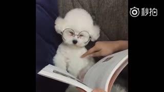 【狗狗】小比熊一看书就犯困,被捡屎的拍拍都不带睁眼的。