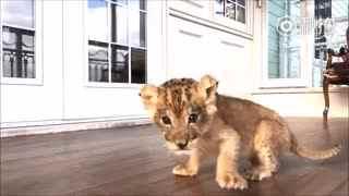 艾玛~最后那一声狮吼真是吓死我了