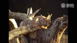 【狞猫】小狞猫主场串烧,期间有薮猫和猞猁的客串