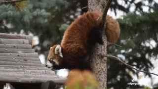 【小熊猫】两只雄性小熊猫宝宝~在学习爬树技能